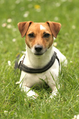 Tier Hund Jack Russell Terrier