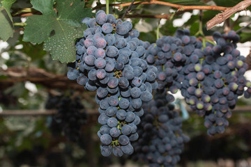 Grapevines with Bunches of Grapes ingarden