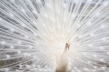 Male white peacock with spread tail-feathers