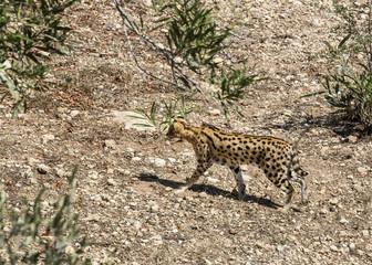 cheetah in the wild africa arnivore, cat