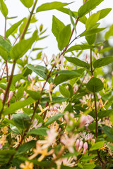 Rhododenren