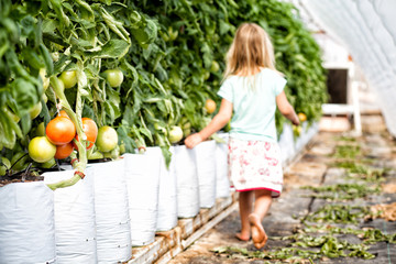 USA, Colorado, Girl walking past row of tomatoes in growth bags