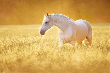 White horse in rye, golden sunset
