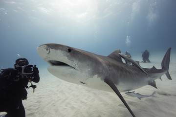 Bahamas, Caribbean sea, Tiger beach, Diver photographing tiger shark underwater