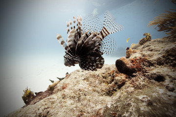 Bahamas, Caribbean sea, Tiger beach, Lion Fish swimming in sea