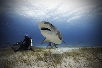 Bahamas, Caribbean sea, Tiger beach, Divers and tiger shark underwater