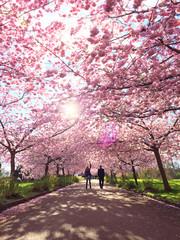 Denmark, Copenhagen, Trees in full blossom