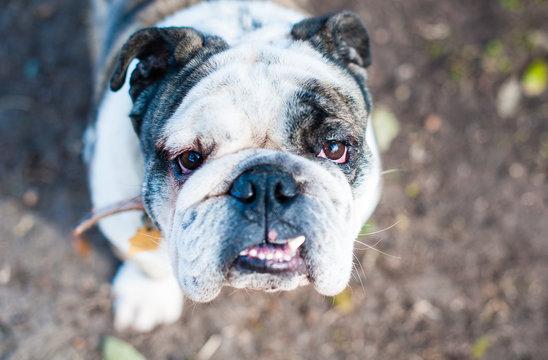 Portrait of a bulldog