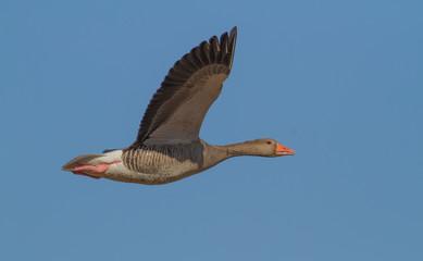 Greylag goose flying over Arresø, Denmark.