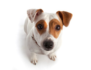 Jack Russell terrier dog sitting and looking