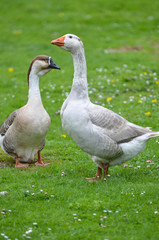 Two geese on a farm