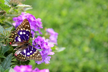 Blu Japanese Emperor Butterfly on Purple Flower Background
