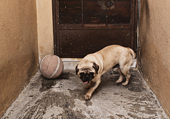 Pug dog and a ball of basketball