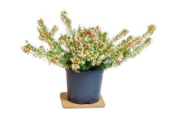 "Erica in the pot. Common names ""heath"" and ""heather"""