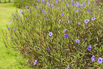 Purple flowers, Ruellia tuberosa