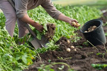 dig up potatoes