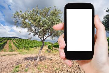 photo olive and vineyard in Etna region, Sicily