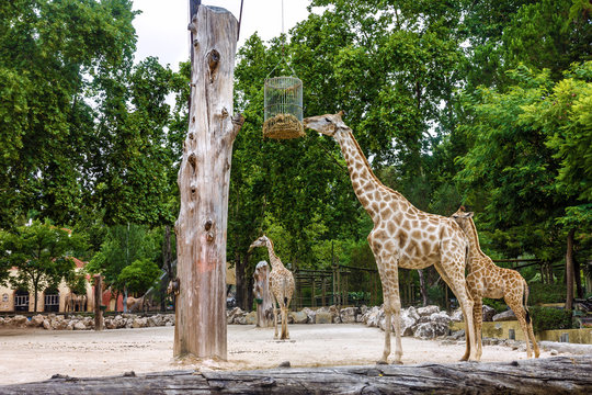 Giraffe feeding in garden, Lisbon zoo