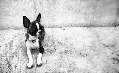 Boston Terrier puppy dog