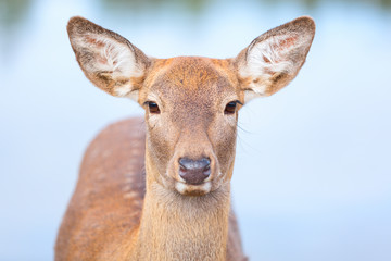 Female Roe deer close up portrait isolated