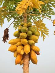 Papaya on the papaya tree in garden