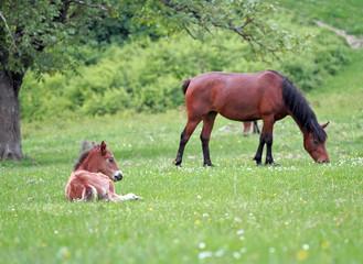 Foal Horse resting