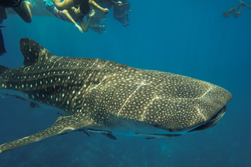 Underwater photography of a whale shark swimming in ocean