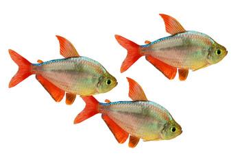 red-blue Columbian Tetra Hyphessobrycon aquarium fish