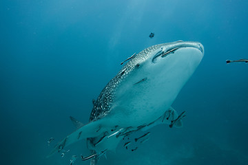 Whale shark swimming in ocean