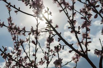 fiori ciliegio contro luce