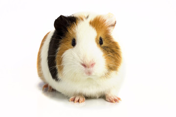 Guinea pig isolated on a white background .