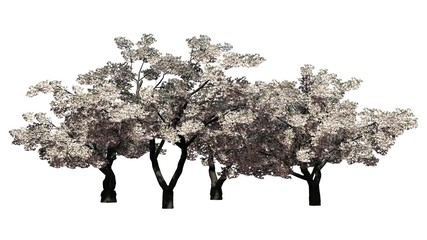 cherry tree blooming - isolated on white background
