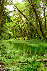 The Quinault Rain Forest in the Olympic National Park, Washington State