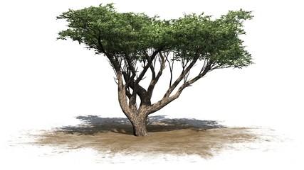 Acacia tree - isolated on white background