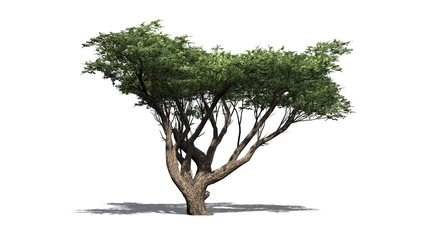Acacia tree - isolated on white background