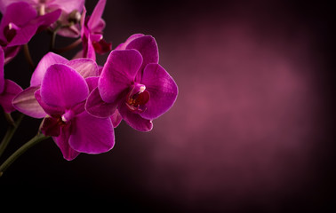 Phalaenopsis in dark blurred background