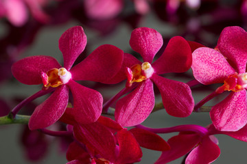Colorful red orchids, flower vibrant concept, soft focus