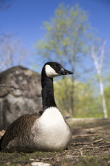 Portrait of canadian goose