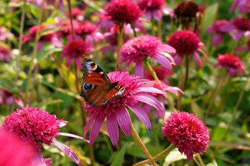 Obraz Echinacea Pink Double Delight and butterfly - fototapety do salonu