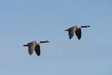 Canada Goose, Branta canadensis