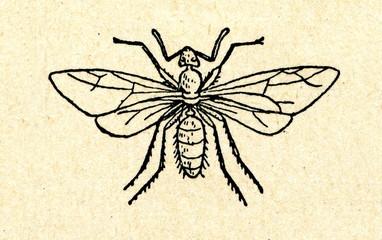Fertile ant female - queen