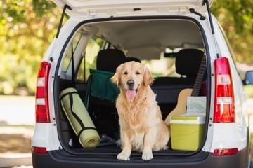 Domestic dog in car trunk