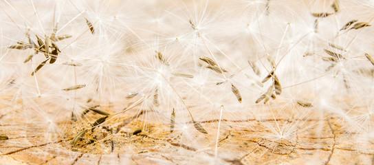 white dandelion seeds on wooden background