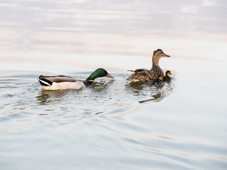 A Family - water ducks