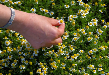 Fingers picking up a daisy at springtime.