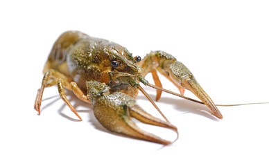 Crayfish on a white background.