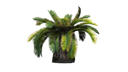 Sago palm tree - isolated on white background