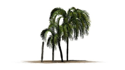 Queen palm tree cluster - isolated on white background