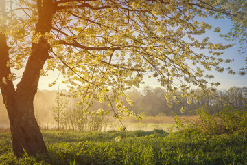 Cherry tree  blossom over sunrise in morning time