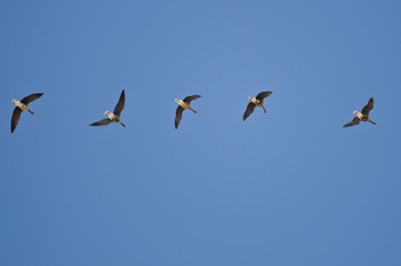 Flock of Greater White-Fronted Geese Flying in a Blue Sky